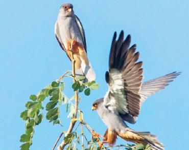Amur falcons arrive
